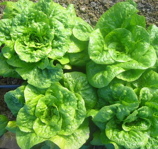 Organic Butterhead Lettuce
