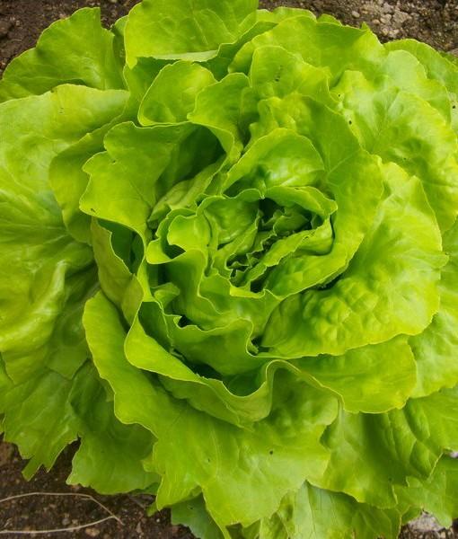 Organic Trocadero Lettuce