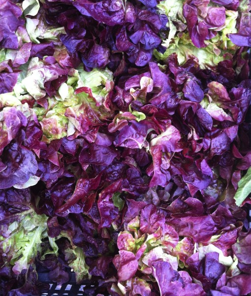 Organic Oak Leaf Lettuce