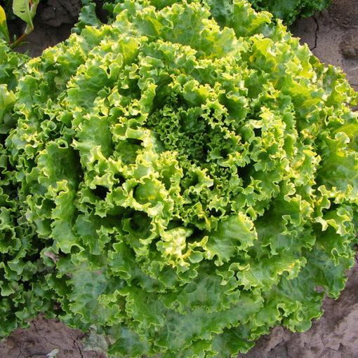 Lechuga Batavia Verde Ecológico